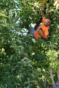 apple picking 2015 3
