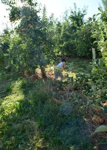 apple picking 2015 4